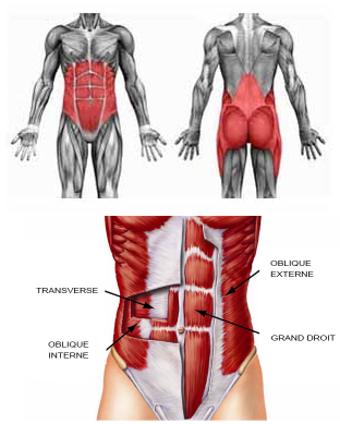 gainage_anatomie